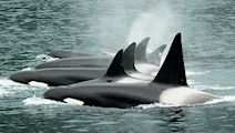 Chugach Transient Alaskan Orcas