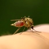 3190186-mosquito-full-of-blood