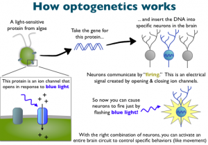 Brief description of how optogenetics technology works (image from http://www.cobolt.se/optogenetics.html)