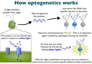 Brief description of how optogenetics technology works (image from http://www.cobolt.se/optogenetics.html)